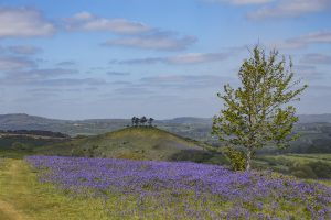 Bluebells on Eype Down